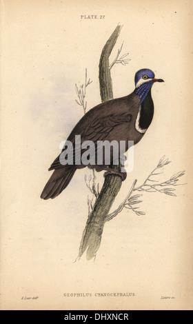 Blue-headed quail-dove, Starnoenas cyanocephala, endangered, native to Cuba. - Stock Photo