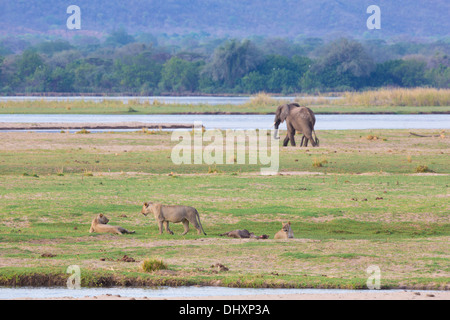 Lion (Panthera leo) and Elephant (Loxodonta africana) by the Zambezi River - Stock Photo