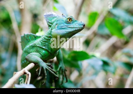 Close up of Green Basilisk Lizard - Stock Photo