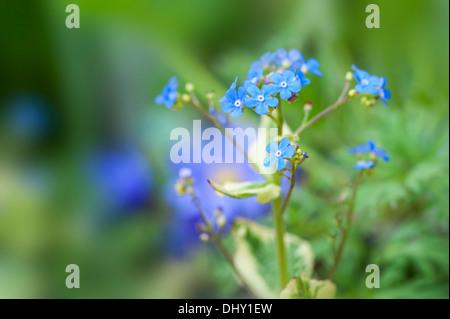 Brunnera macrophylla 'Hadspen Cream' - Siberian bugloss 'Hadspen Cream' spring blue flowers - Stock Photo