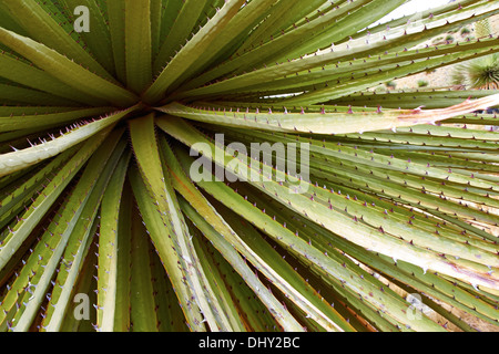 Puya Raimondii Plants high up in the Peruvian Andes, South America. - Stock Photo