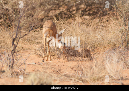 A mating pair of Dik-diks on the red dunes in the Kalahari desert - Stock Photo