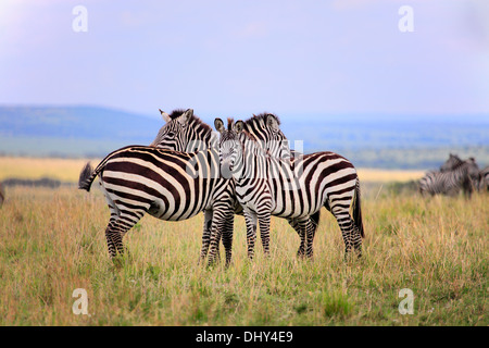Grevy zebra (Equus grevyi), Maasai Mara National Reserve, Kenya - Stock Photo