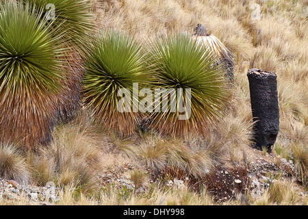 Burnt Puya Raimondii Plants high up in the Peruvian Andes, South America. - Stock Photo