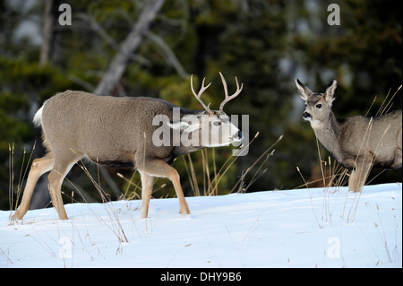 A mule deer buck interacting with a female