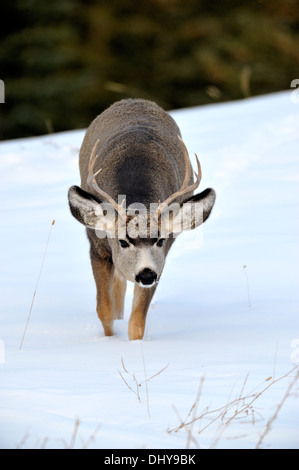 A young mule deer buck walking forward with his head down - Stock Photo