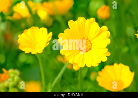 Marigold flowers in the garden, close up view - Stock Photo