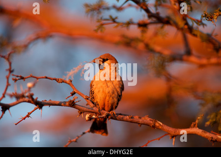 A weaver bird sits on a tree branch holding a piece of grass in its beak before building a nest. - Stock Photo