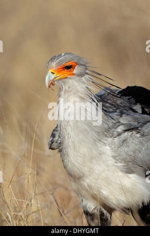 Portrait of a secretary bird (Sagittarius serpentarius), Kalahari, South Africa - Stock Photo