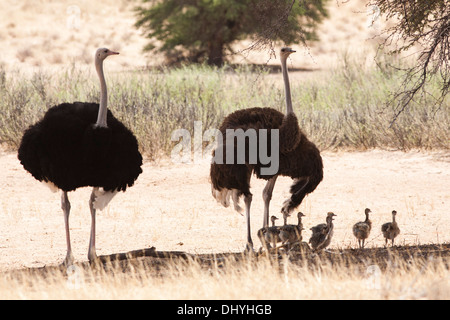 Common Ostrich (struthio camelus) flock if the Kalahari desert, South Africa - Stock Photo
