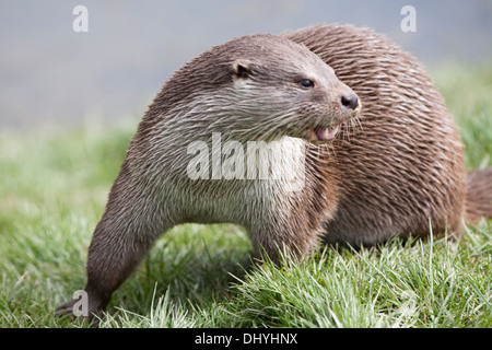 European Otter by the riverbank in the UK (lutra lutra) March - Stock Photo