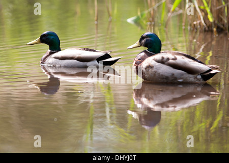Mallard Duck (anas platyrhynchos) UK - Stock Photo