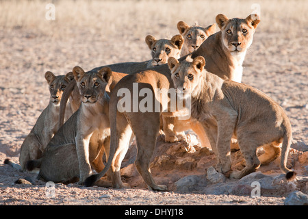 African Lion pride on the lookout in the Kalahari desert - Stock Photo