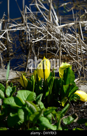 Lysichiton americanus yellow skunk cabbage flowers flowering bloom blooming spring perennials bog water aquatic plants Stock Photo
