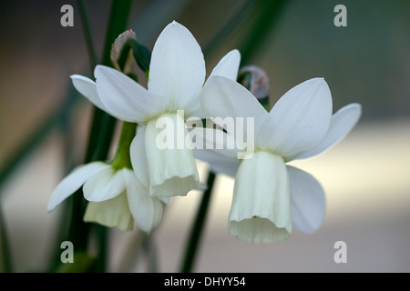 narcissus ice wings triandrus daffodil angels tears white flower flowers narcissi daffodils bulbs spring flowering - Stock Photo