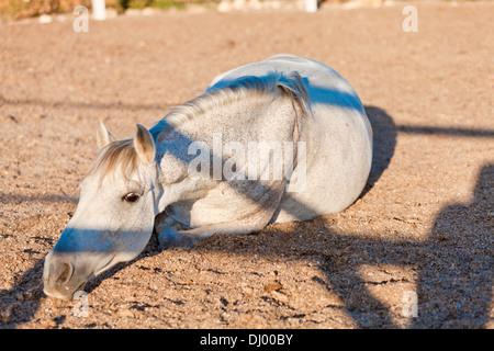 beautiful pura raza espanola pre andalusian horse outdoor in summer - Stock Photo
