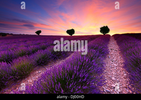 Three on the hill in lavender field at sunset. France Provence. - Stock Photo