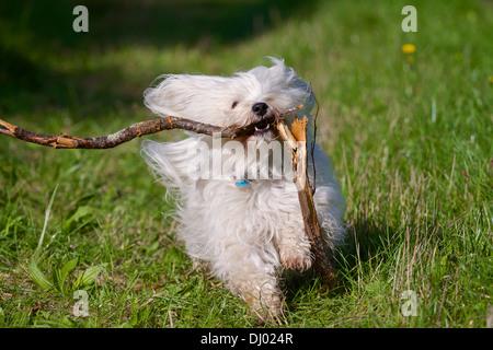 Havanese in retrieving a broken stick. - Stock Photo