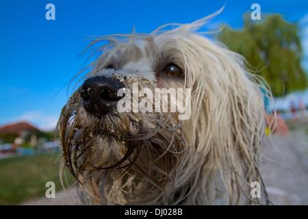 Eine schmutzige Hunde Nase voller Sand, die Augen verlieren sich schon in der Unschärfe - Stock Photo