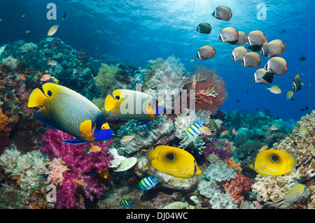 Coral reef with Blue-girdled angelfish, Ovalspot butterflyfish and Redtail or Collared butterflyfish - Stock Photo