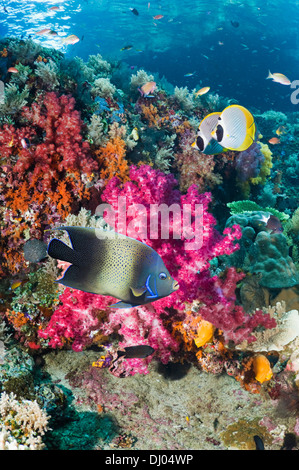 Coral reef with a Semicircle angelfish and a pair of Panda butterflyfish - Stock Photo