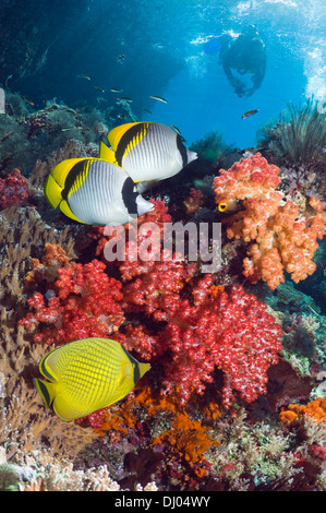 Coral reef with Lined butterflyfish and a Latticed butterflyfish and a diver with a camera in background - Stock Photo