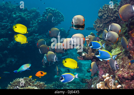 Red tail or Collared butterflyfish with Yellow butterflyfish and Powder-blue surgeonfish - Stock Photo