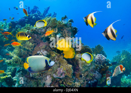 Coral reef scenery with Golden butterflyfish and Red Sea bannerfish - Stock Photo