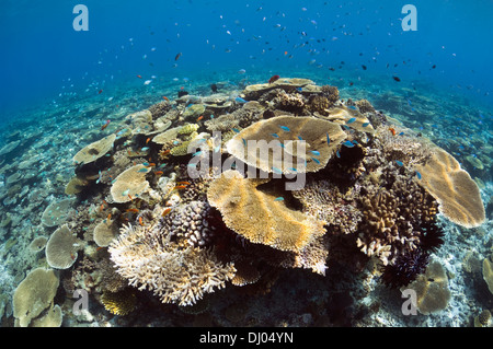 Sun dapple on table corals Acropora sp.) on shallow reef top. Maldives. - Stock Photo