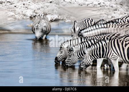 Zebra in Etosha National Park - Stock Photo
