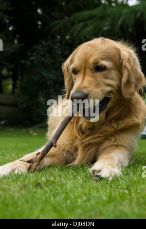 golden retriever puppy standing with paw on adult dog s back stock photo royalty free image. Black Bedroom Furniture Sets. Home Design Ideas