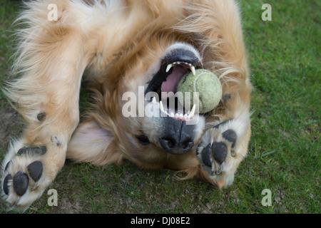 golden retriever Labrador dog face teeth playing - Stock Photo