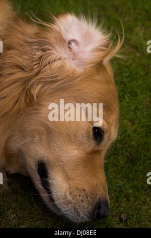golden retriever Labrador playing outside stick - Stock Photo