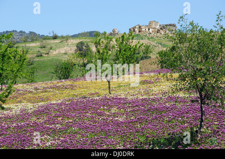 Field of lilac spring flowers and trees with a ruined cottage to the rear, Near Ardales, Andalusia, Spain. - Stock Photo