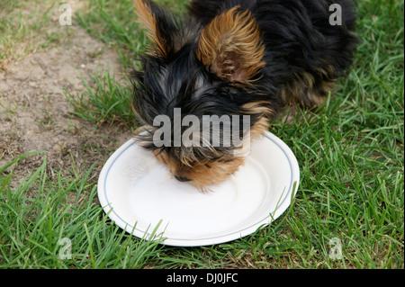Cute yorkshire terrier puppy dog drinking milk - Stock Photo