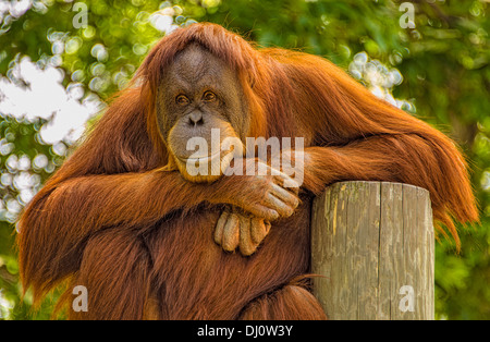 The orangutans are the two exclusively Asian species of extant great apes. Native to Indonesia and Malaysia. - Stock Photo
