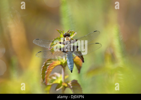 Broad-bodied Chaser Dragonfly (Libellula depressa) male at rest on water mint, Oxfordshire, England, July - Stock Photo