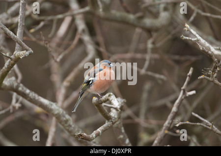 Chaffinch (Fringilla coelebs). Adult male in summer plumage - Stock Photo