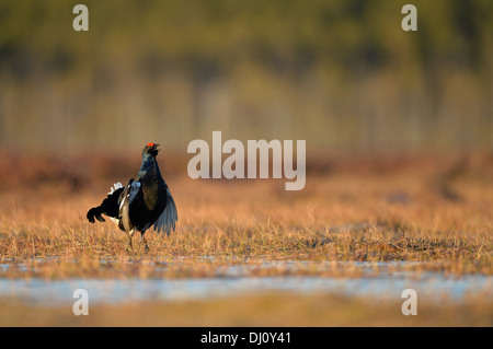 Black Grouse (Tetrao tetrix) male displaying at lek, Finland, April - Stock Photo