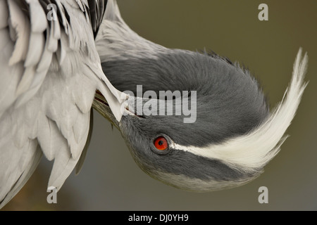 Demoiselle Crane (Anthropoides virgo) portrait, Slimbridge, England, August, captive - Stock Photo