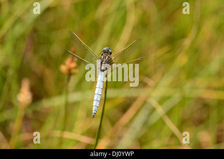 Keeled Skimmer Dragonfly (Orthetrum coerulescens) male at rest, Oxfordshire, England, July - Stock Photo