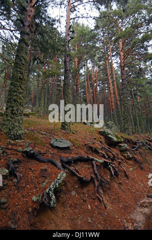 Forest in Peñalara, highest mountain peak in the mountain range of Guadarrama, Spain - Stock Photo