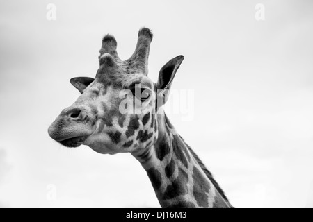A single giraffe portrait in black and white - Stock Photo