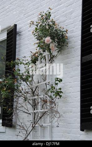 pink climbing rose on white brick house - Stock Photo