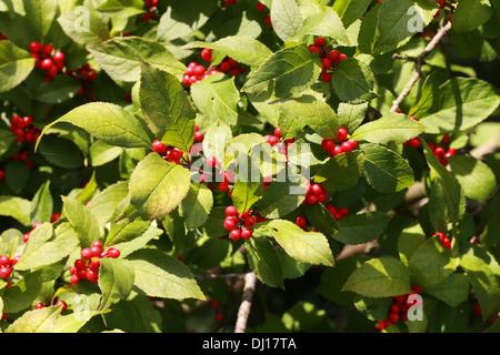 Winterberry Holly Black Alder Fever Berry Ilex