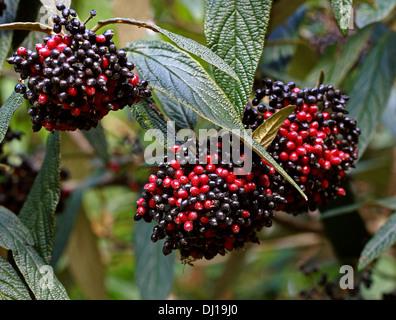 Wayfaring Tree, Hoarwithy, Twistwood Meal Tree, Viburnum lantana, Adoxaceae. Red and Black Berries. - Stock Photo