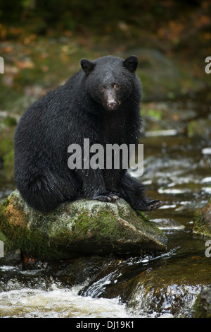 Black bear on rocks fishing for salmon in Thornton Creek Fish Hatchery-Ucluelet, British Columbia, Canada. - Stock Photo
