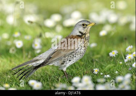 Fieldfare Turdus pilaris - Stock Photo