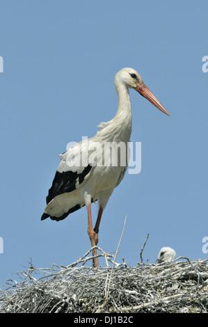 White Stork Ciconia ciconia - Stock Photo