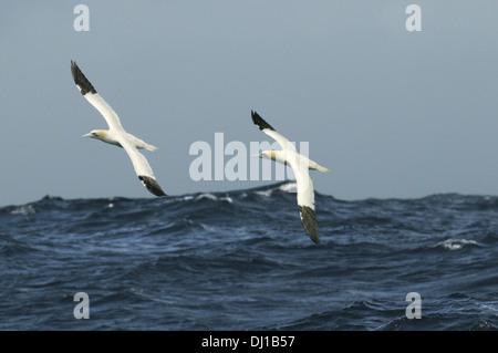 Gannet Morus bassanus - Stock Photo